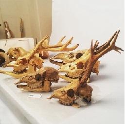 deer_skulls_sml.jpg