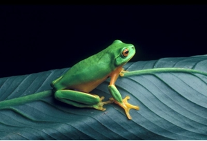 litoria_gracilenta_nk490_gc.ashx.jpeg